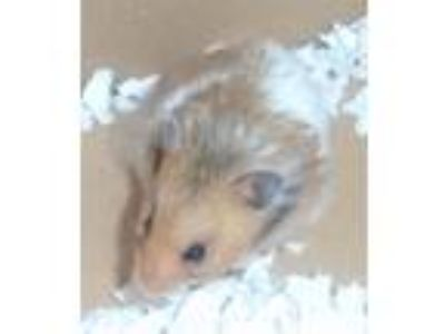 Adopt Happy a Hamster small animal in Raleigh, NC (25770328)