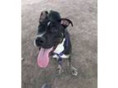 Adopt Elvis a Black - with White Pit Bull Terrier / Mixed Breed (Medium) / Mixed