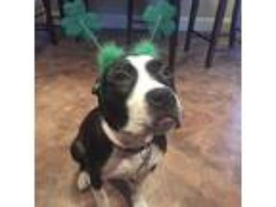 Adopt Zoey a Black - with White American Pit Bull Terrier / Boxer dog in Roselle