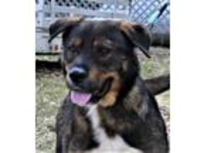 Adopt Salvia a Rottweiler, German Shepherd Dog