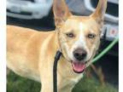 Adopt LUCY a Australian Cattle Dog / Blue Heeler, Mixed Breed