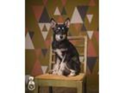 Adopt Pisces a Black - with Brown, Red, Golden, Orange or Chestnut Siberian