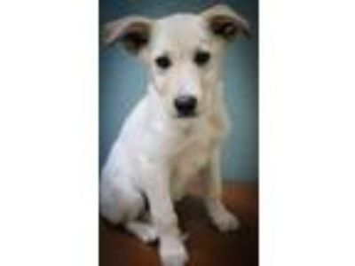 Adopt Salem and Dundee a Labrador Retriever, Shepherd