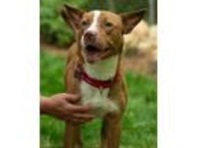 Adopt Valli a Tan/Yellow/Fawn - with White Pit Bull Terrier / Mixed dog in