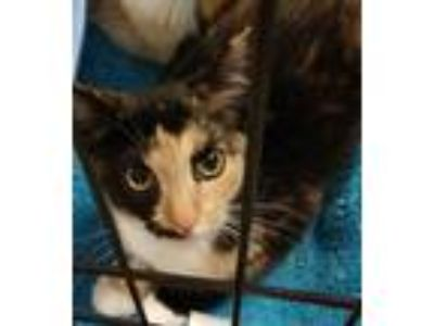 Adopt Prissy a Calico or Dilute Calico Domestic Shorthair (short coat) cat in