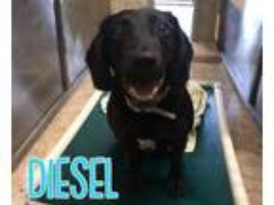 Adopt Diesel a Labrador Retriever, Basset Hound