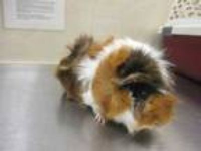 Adopt Boba a Red Guinea Pig / Guinea Pig / Mixed small animal in Houston