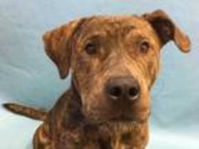 Adopt Singo a Brindle American Pit Bull Terrier / Mixed dog in Golden Valley
