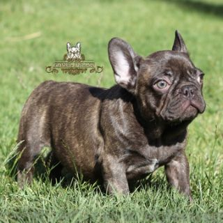French Bulldog PUPPY FOR SALE ADN-77260 - Chocolate French Bulldog Puppy