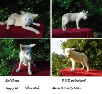 Wolf Hybrid PUPPY FOR SALE ADN-95176 - NorDogs Wolf Dog RedGreen