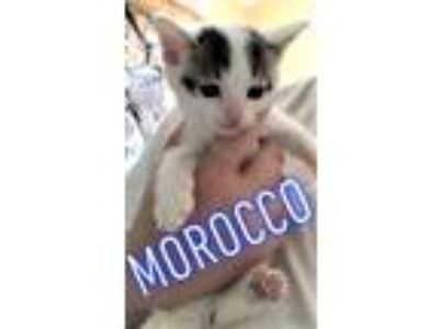Adopt Moracco a Black & White or Tuxedo Domestic Shorthair / Mixed (short coat)