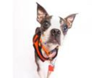 Adopt Aerosmith a Brindle Boston Terrier / Mixed dog in San Francisco