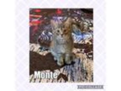 Adopt MONTE a Domestic Short Hair