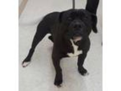 Adopt Bubba a Black - with White American Staffordshire Terrier / Mixed dog in