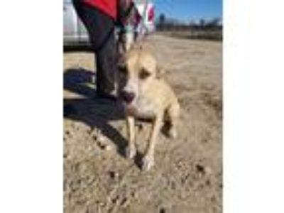 Adopt Mandi a Labrador Retriever