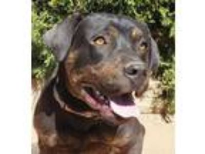 Adopt Wickedly FUNNY Wilson ~ RottenBull a Rottweiler, American Staffordshire