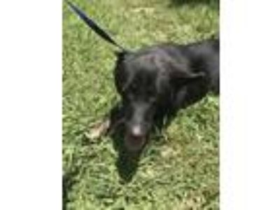 Adopt 42229226 a Black German Shepherd Dog / Mixed dog in Fort Worth