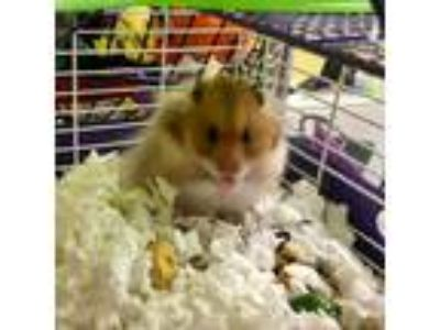Adopt Dulce de Leche a Brown or Chocolate Hamster / Mixed small animal in