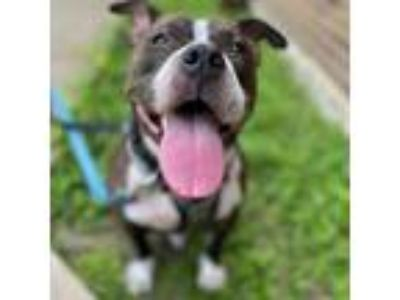 Adopt Judy a Black Pit Bull Terrier dog in Dallas, TX (21751515)