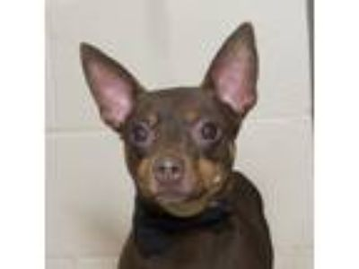 Adopt Captain a Brown/Chocolate - with Tan Miniature Pinscher / Mixed dog in