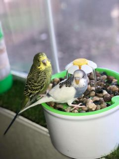 Paired Parakeets
