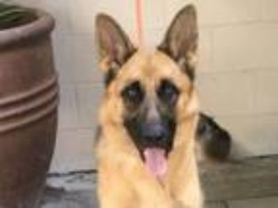 Adopt I1316985 a German Shepherd Dog