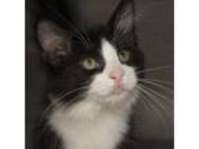 Adopt Molly a Black & White or Tuxedo Domestic Shorthair / Mixed (short coat)