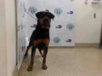 Adopt SOPHIE a Black - with Tan, Yellow or Fawn Rottweiler / Mixed dog in Doral