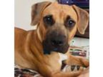 Adopt KIRBY a Black Mouth Cur