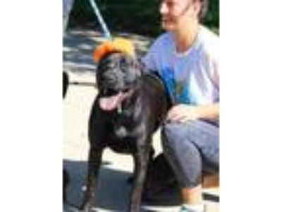 Adopt Rusty a Black Labrador Retriever / Mixed dog in Anderson, IN (23068355)