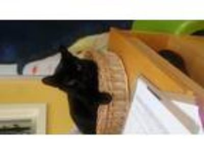 Adopt Midnight a All Black Domestic Shorthair / Mixed (short coat) cat in
