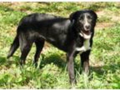 Adopt Bootleg Pups: Bourbon a Border Collie, Golden Retriever