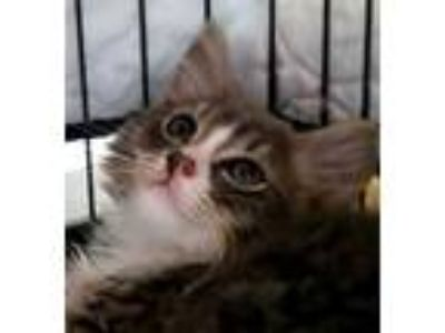 Adopt Lord Darcy a Gray or Blue Domestic Mediumhair / Domestic Shorthair / Mixed