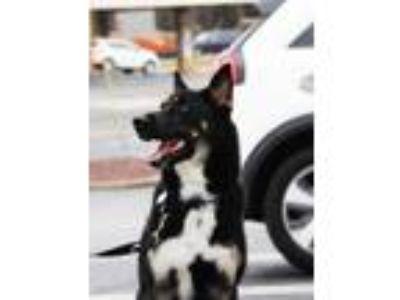 Adopt Maverick a German Shepherd Dog, Husky