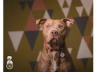 Adopt Rocky a Red/Golden/Orange/Chestnut Pit Bull Terrier / Mixed dog in