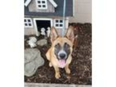 Adopt Toastys a Australian Cattle Dog / Blue Heeler, Shepherd