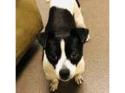 Adopt George a Black - with White Rat Terrier / Mixed dog in Burlingame