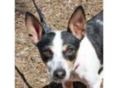 Adopt Geewhizz a Tricolor (Tan/Brown & Black & White) Basenji / Terrier (Unknown