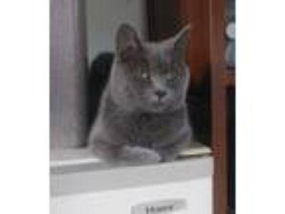 Adopt MISS GREY a Gray or Blue Domestic Shorthair (short coat) cat in Owenboro