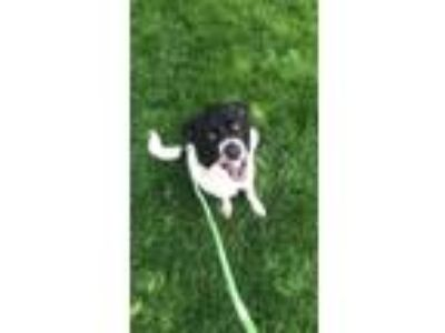 Adopt Charlie a Black - with White Border Collie / Mixed dog in Plainfield