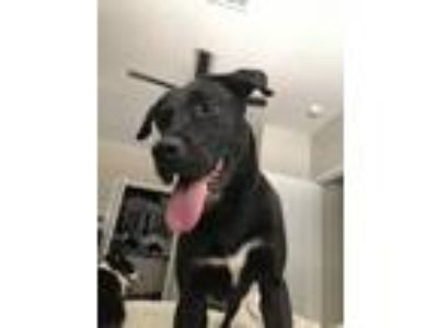 Adopt Sky a Black - with White Labrador Retriever / Poodle (Standard) dog in