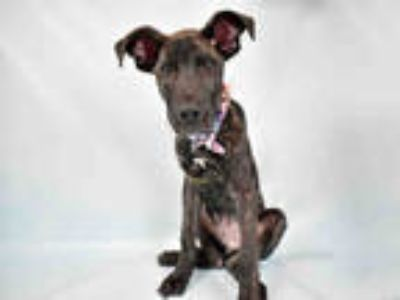 Adopt LOUIS a Brindle Mixed Breed (Medium) / Mixed dog in Ft Lauderdale