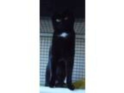 Adopt Domino a Black (Mostly) Domestic Shorthair (short coat) cat in Speedway