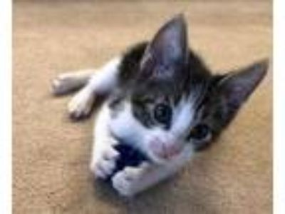 Adopt Toby a White Domestic Shorthair / Domestic Shorthair / Mixed cat in