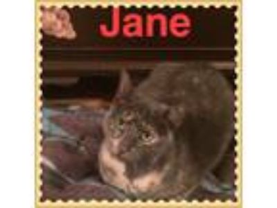 Adopt Jane a Calico or Dilute Calico American Shorthair (short coat) cat in