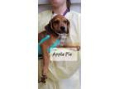 Adopt Apple Pie a Brown/Chocolate Hound (Unknown Type) dog in MCLEAN