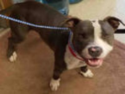 Adopt CHARLIE a Gray/Silver/Salt & Pepper - with White American Pit Bull Terrier