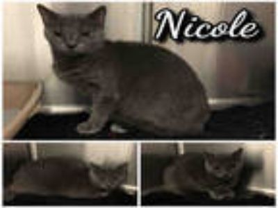 Adopt NICOLE a Gray or Blue Domestic Shorthair / Mixed (short coat) cat in