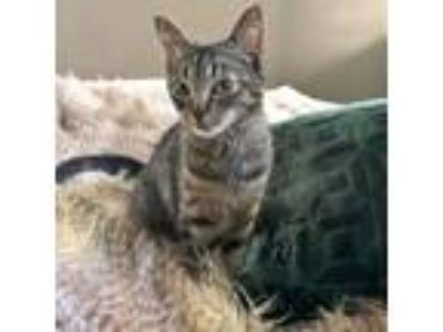 Adopt Charlotte a Brown Tabby American Shorthair / Mixed (short coat) cat in