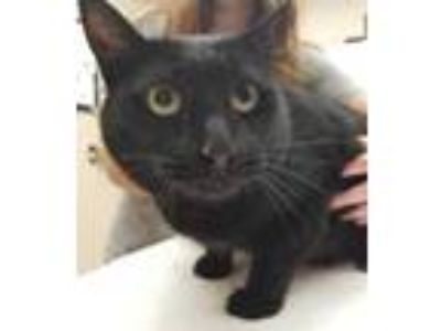 Adopt Odin a All Black Domestic Shorthair / Domestic Shorthair / Mixed cat in